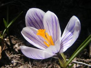 Saffron flower (Used with permission.)
