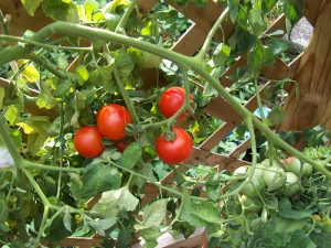 Tomatoes on the Vine (Photo courtesy of L. Wilcoxen)