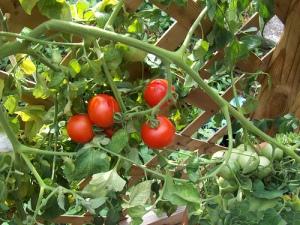 Tomatoes on the Vine (Photo courtesy of L. Wilcoxen)