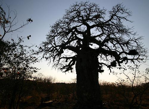 Baobab Silhouette (Used with permission.)