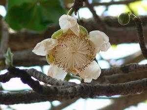 Baobab Flower (Used with permission of Dinesh Valke.)