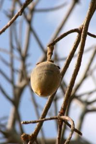 Baobab Seed Pod (Used with permission.)