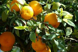Oranges in Morocco (Used with permission of Sue Kellerman.)
