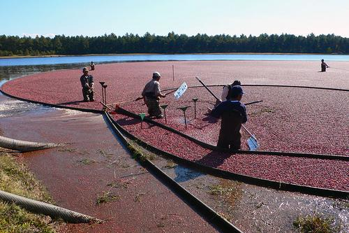 Harvesting Wet Bog Cranberries (Used with permission.)