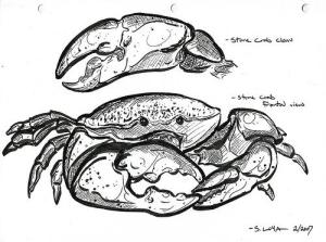 Stone Crab Anatomy Lesson (Used with permission.)