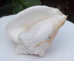 Milk or Ivory Conch