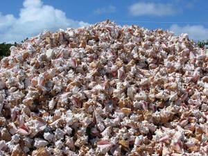 Piles of Conch Shells