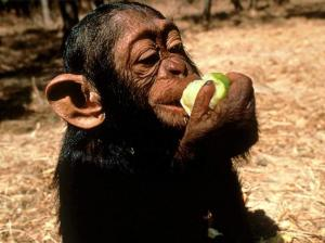 chimpanzee-eating