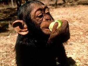 chimpanzee-eating