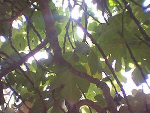Sunshine Through Fig Leaves (Photo credit: Dominic Sagolla)