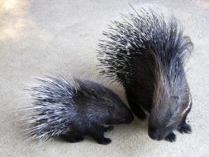 porcupine-23