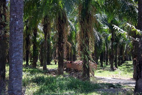 African Oil Palm Forest