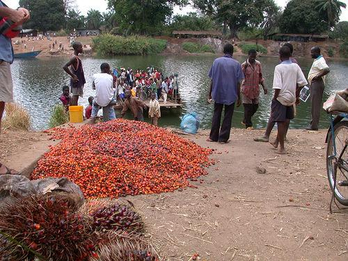 African Oil Palm Seeds Harvested in Tanzania (Photo credit: John Friel)