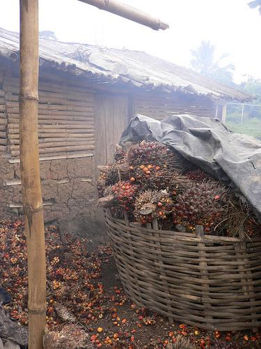 Initial processing of African Oil Palm Fruits (Photo credit: One Village Initiative)