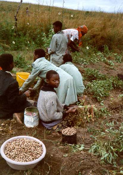 Harvesting groundnuts.