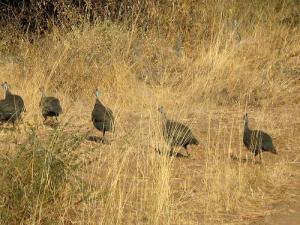 guinea-fowl-2