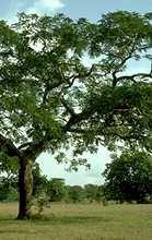 Africa Parkia Biglobosa