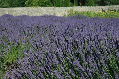 Lavander, St. Remy, France (Photo credit: Holly hayes)