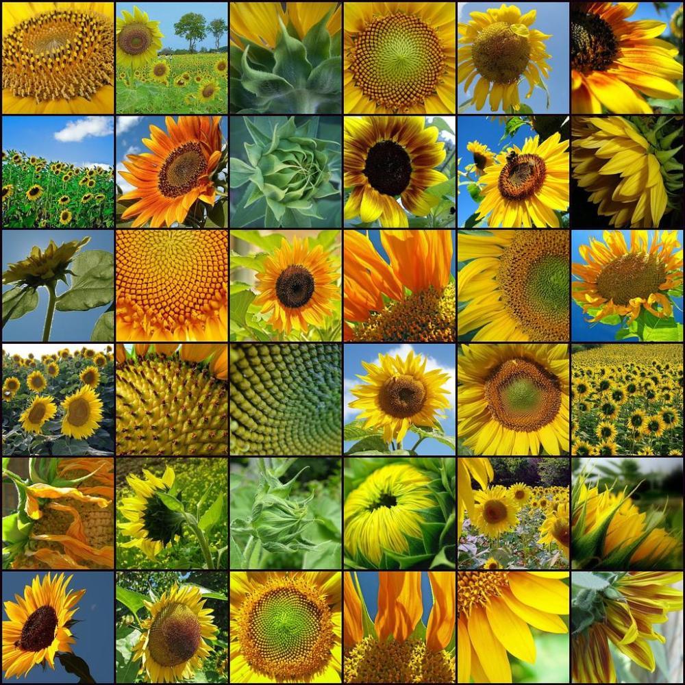 Sunflowe mosaic
