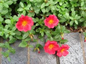 Purslane (Photo credit: Joy Weese Moll)