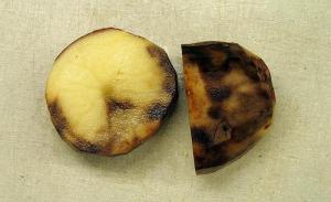Late Potato Blight (Photo credit: Ben Millett)