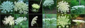 Queen Anne's Lace (Photo copyright coveman)