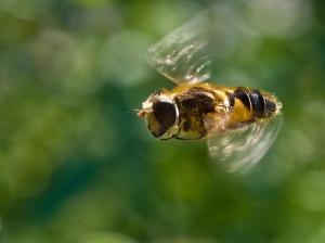 Bee in Flight (Photo credit: William Warby)