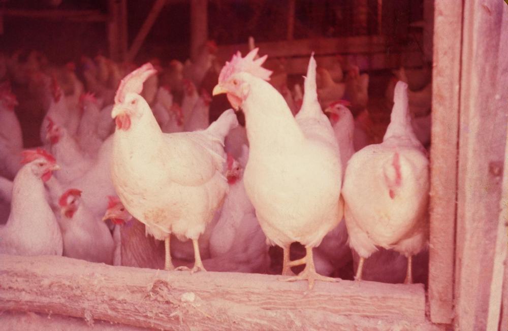 Farm life chickens