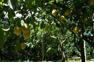 Growing Lemons in Sorrento (Photo credit: Richard Martin)
