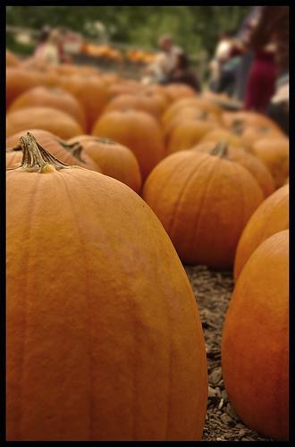 Pumpkin fields