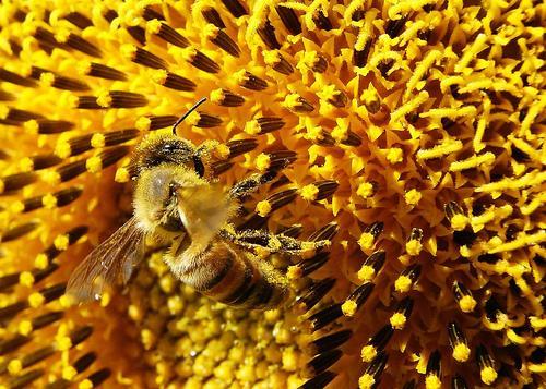 Sunflowers bee on a sunflower