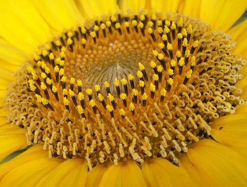 Sunflowers center macro
