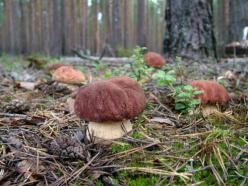 Russia mushrooms