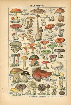 Mushrooms Larousse 1916