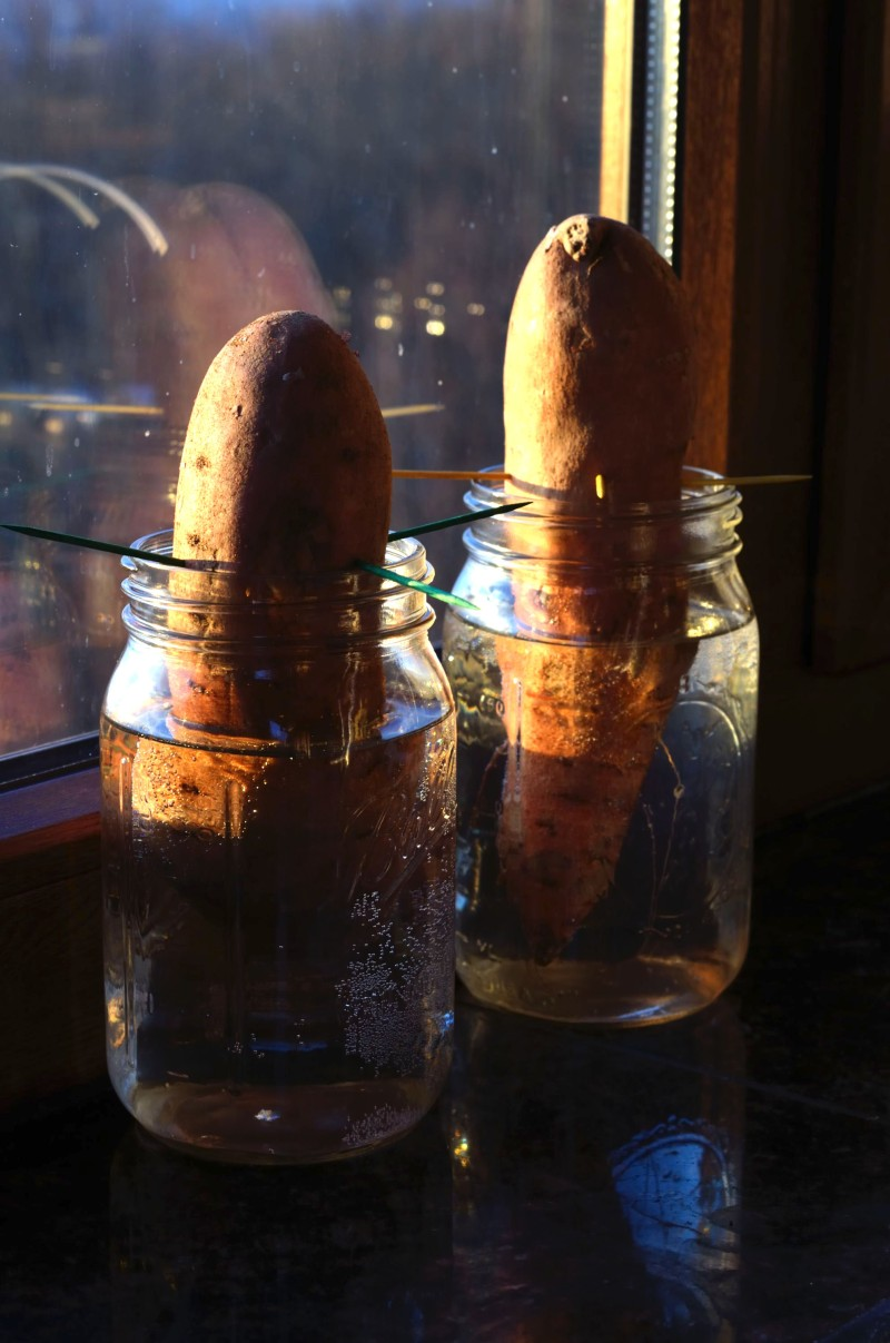 Sweet Potato Slips (Photo credit: C. Bertelsen)