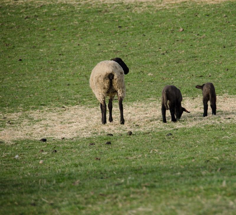 Mama and lambs