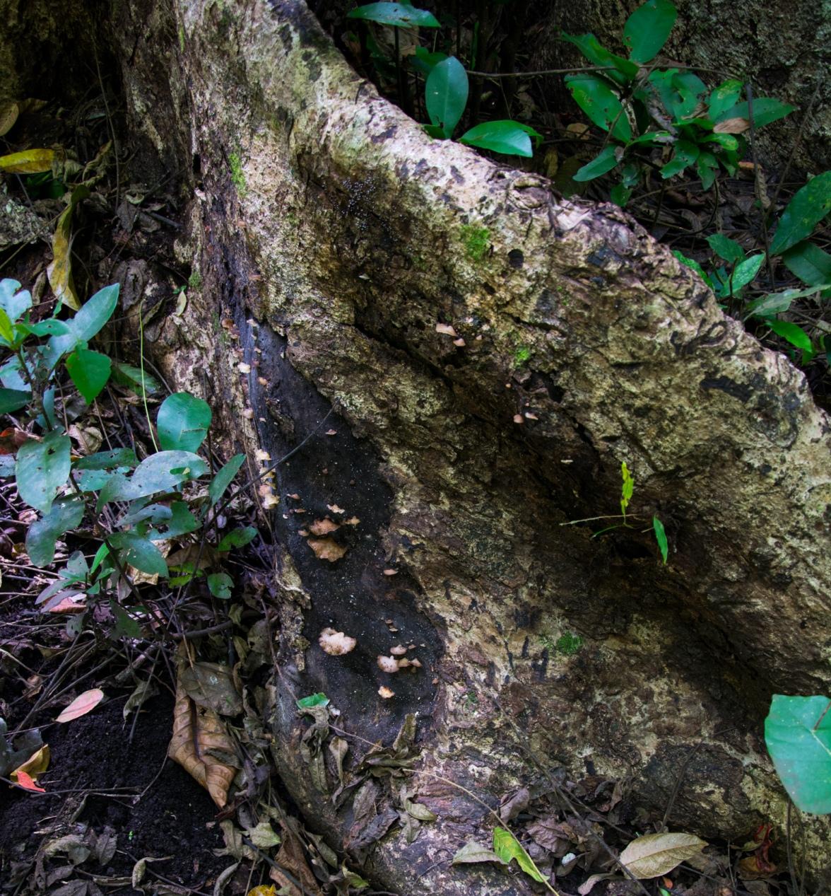 Mushrooms banyan tree