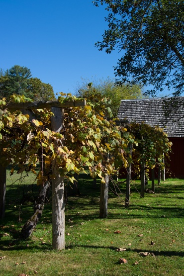 Glen Alton grape vines