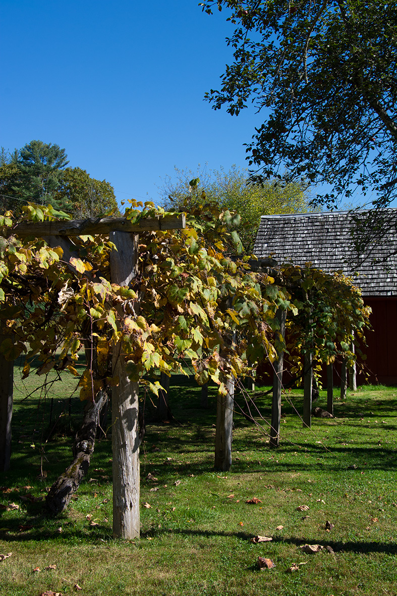 Glen Alton grape vines