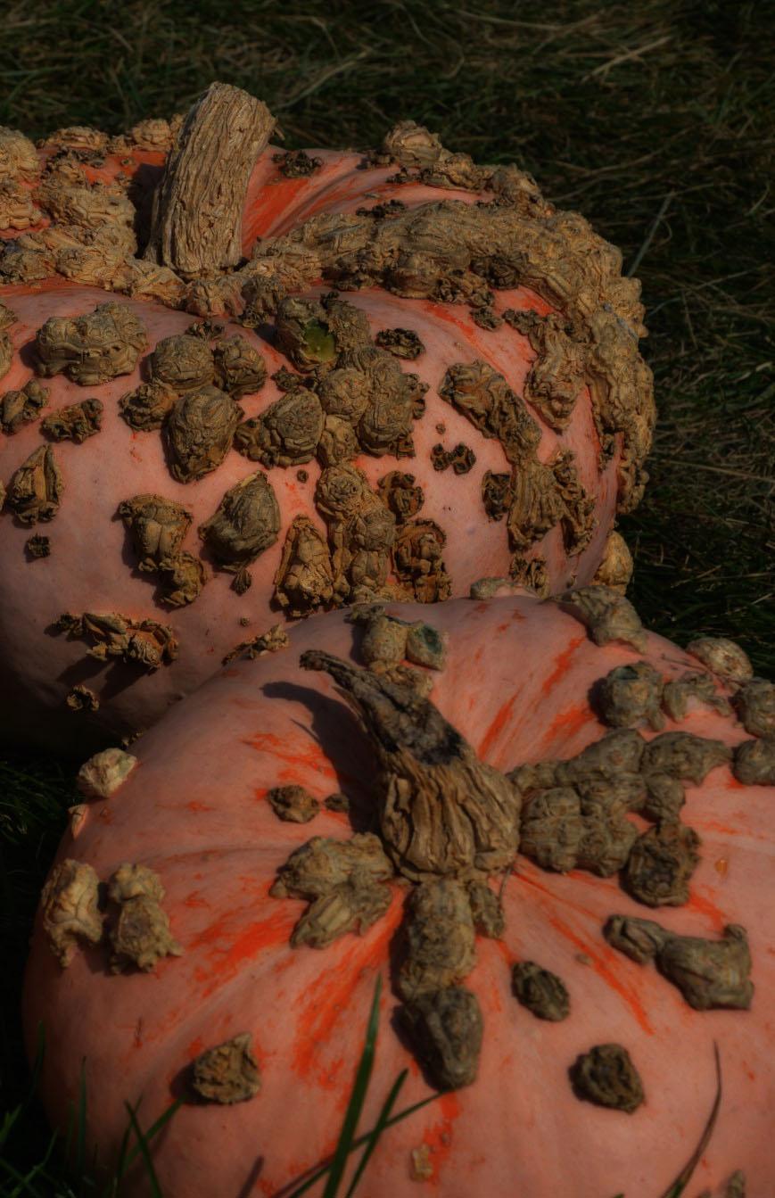 warty-pumpkins1