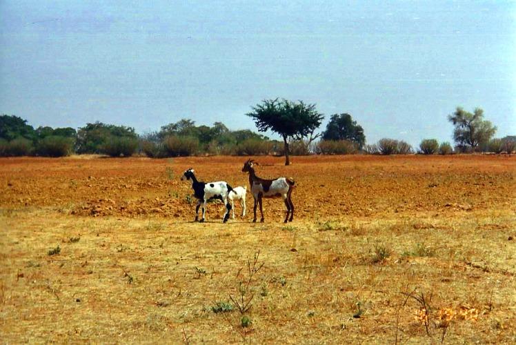 Africa village scene goats
