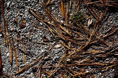Pine needles rs
