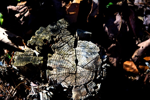 Tree stump 1