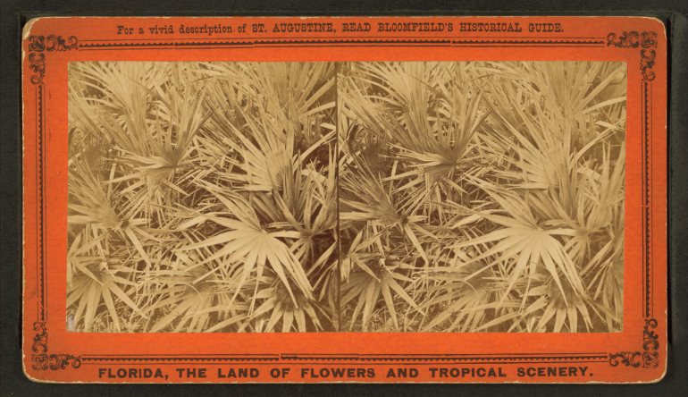 saw-palmetto-stereo-view